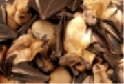 As the Ebola crisis rages, West African villagers are warned away from fruit bats