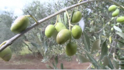 Olive Oil Refining and Tasting